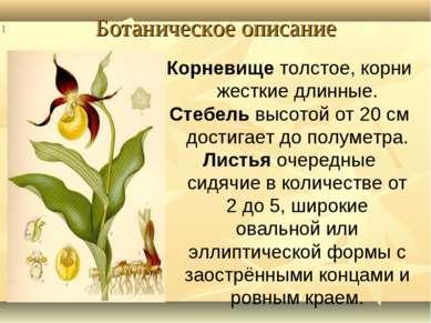 Ботаническое описание Корневище толстое, корни жесткие длинные. Стебель высот...