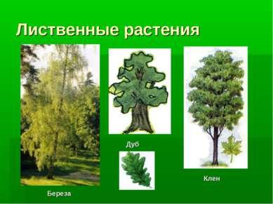 Лиственные растения Клен Береза Дуб