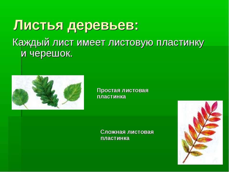 Листья деревьев: Каждый лист имеет листовую пластинку и черешок. Простая лист...