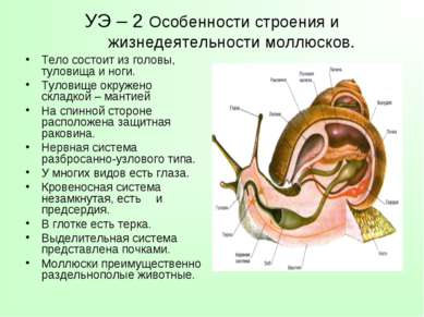 УЭ – 2 Особенности строения и жизнедеятельности моллюсков. Тело состоит из го...