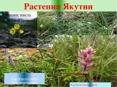 Растения Якутии Полярный мак Лук-скорода Рассечённокотовник многонадрезанный ...
