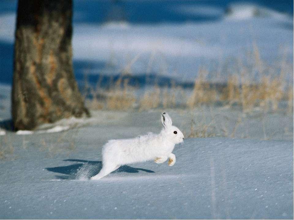 Зимой – белый, а летом – серый!