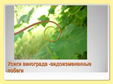 Усики винограда -видоизмененные побеги