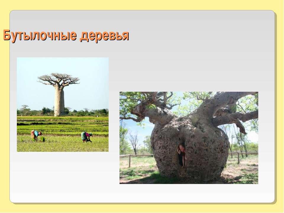 Бутылочные деревья