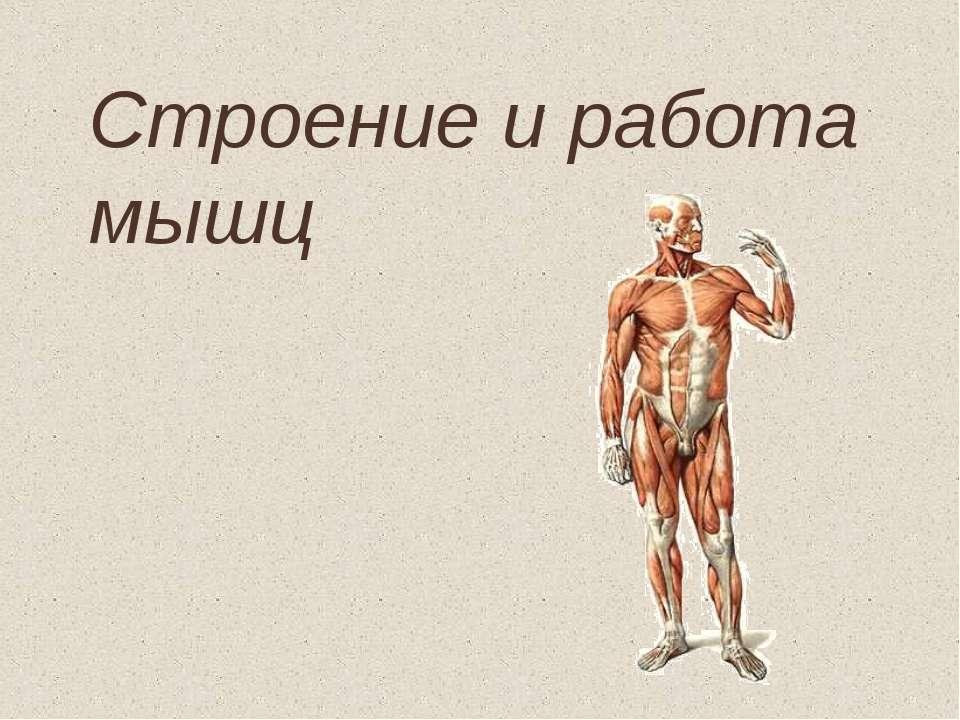 Строение и работа мышц