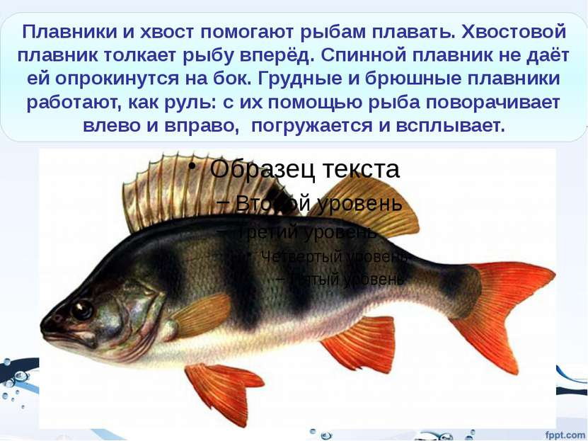 гуппи петушки гурами Золотая рыбка Аквариумные рыбки