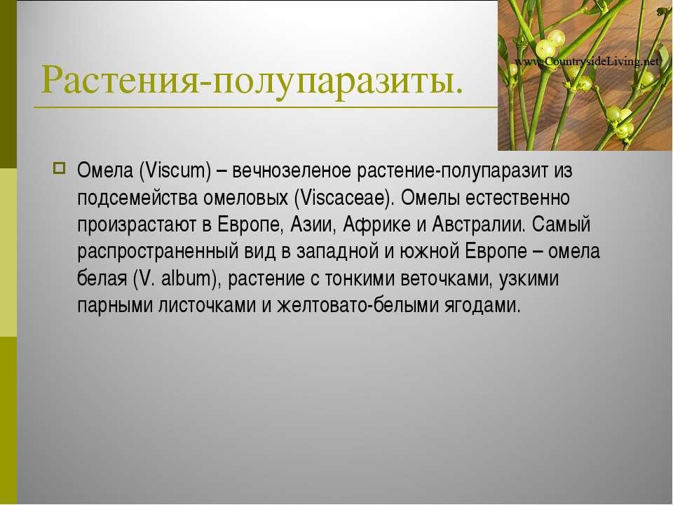 Растения-полупаразиты. Омела (Viscum) – вечнозеленое растение-полупаразит из ...
