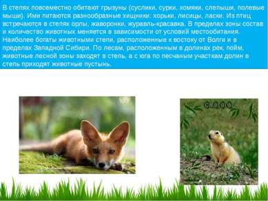 В степях повсеместно обитают грызуны (суслики, сурки, хомяки, слепыши, полевы...