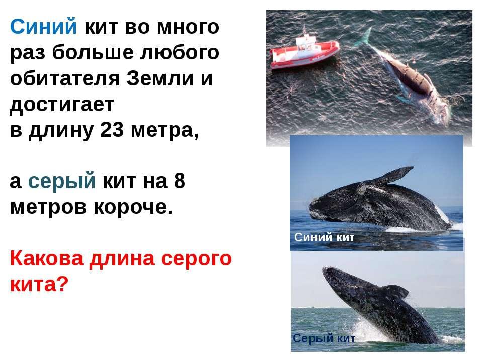 Синий кит Серый кит Синий кит во много раз больше любого обитателя Земли и до...
