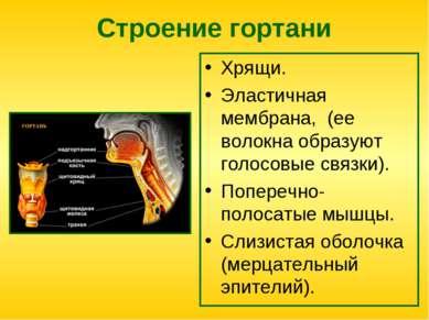 Строение гортани Хрящи. Эластичная мембрана, (ее волокна образуют голосовые с...