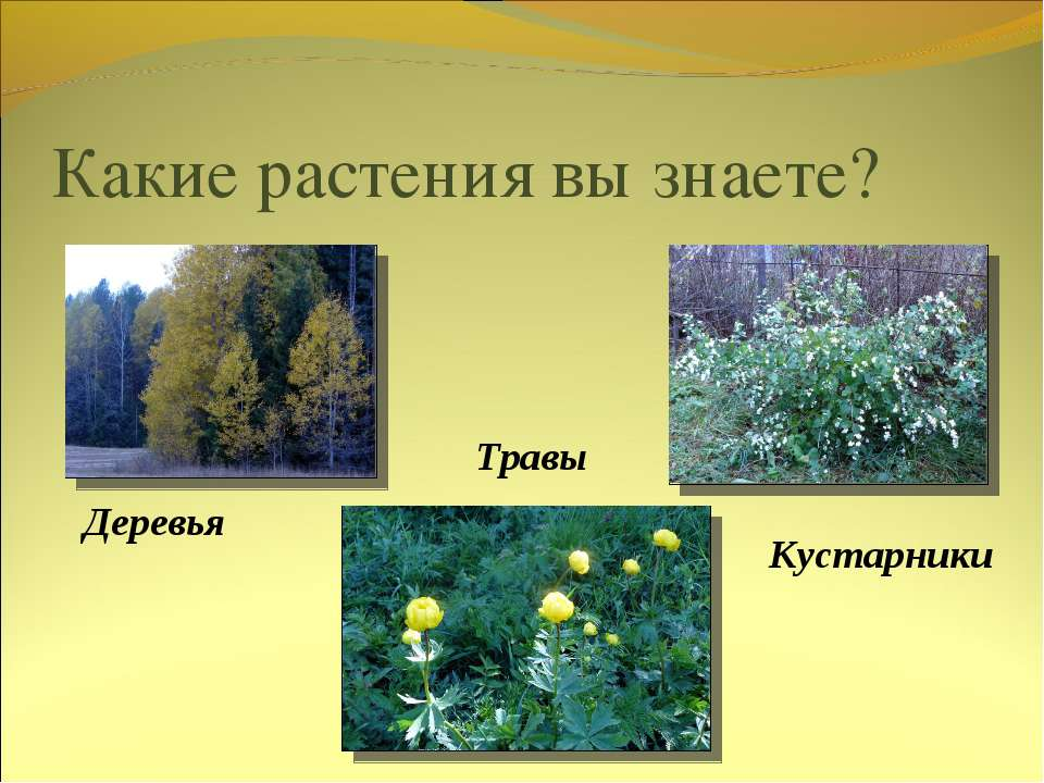 Какие растения вы знаете? Деревья Кустарники Травы