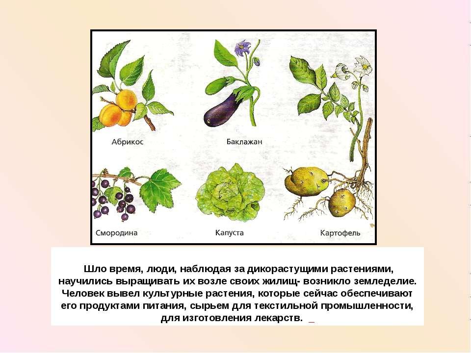 Шло время, люди, наблюдая за дикорастущими растениями, научились выращивать и...