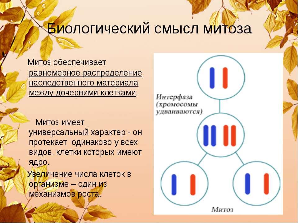 Биологический смысл митоза Митоз обеспечивает равномерное распределение насле...