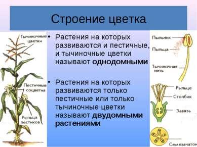 Строение цветка Растения на которых развиваются и пестичные, и тычиночные цве...