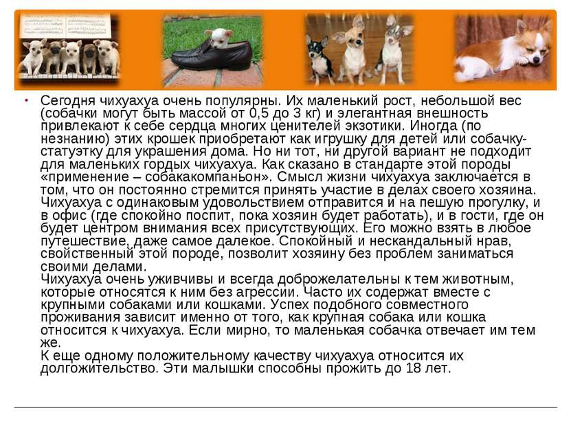 Сегодня чихуахуа очень популярны. Их маленький рост, небольшой вес (собачки м...