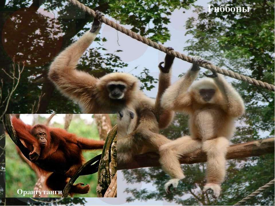 Гиббоны Орангутанги
