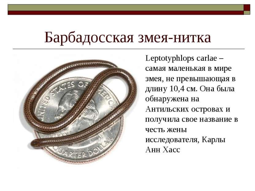 Барбадосская змея-нитка Leptotyphlops carlae – самая маленькая в мире змея, н...