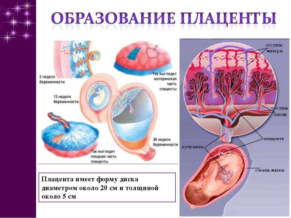 Плацента имеет форму диска диаметром около 20 см и толщиной около 5 см