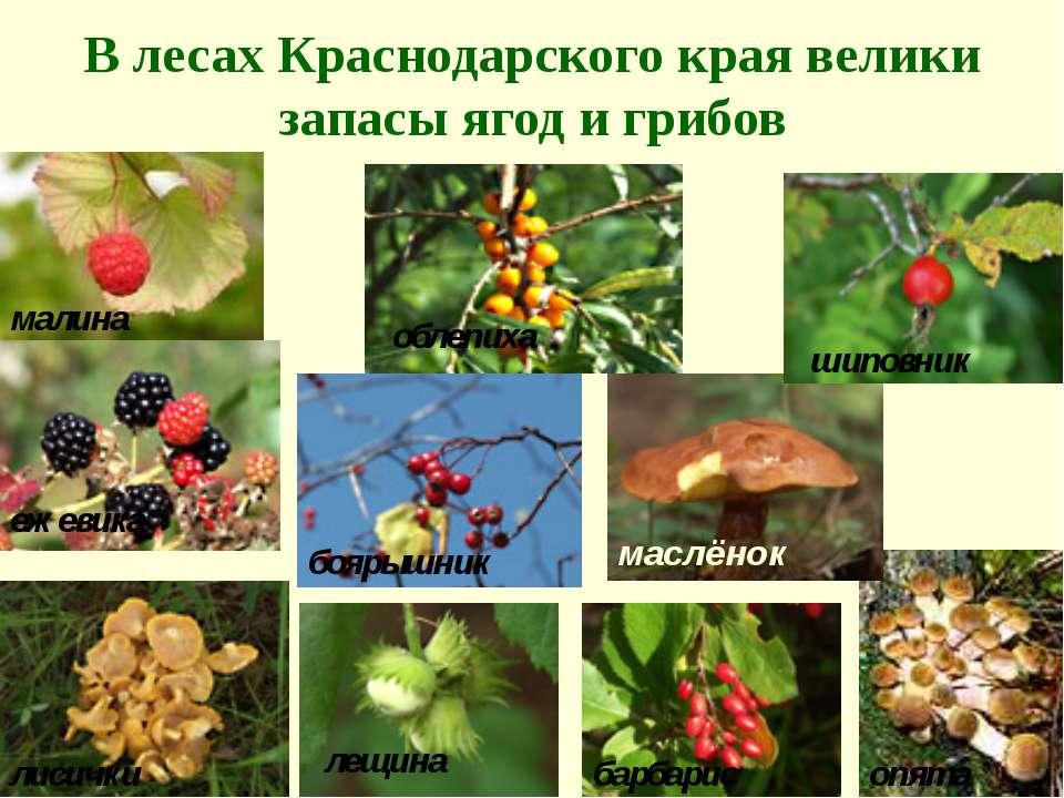 В лесах Краснодарского края велики запасы ягод и грибов малина ежевика лисичк...