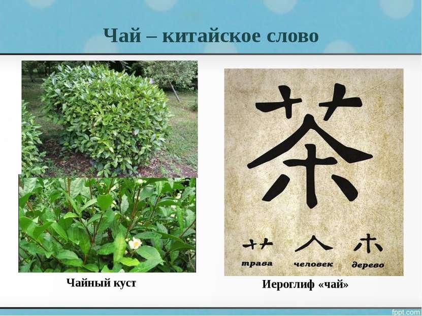 Чай – китайское слово Чайный куст Иероглиф «чай»