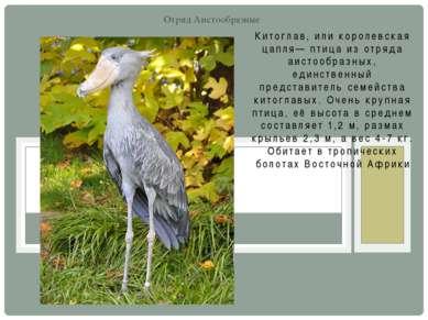 Китоглав, или королевская цапля— птица из отряда аистообразных, единственный ...