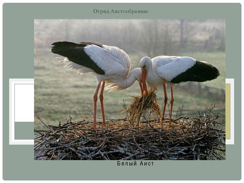 Белый Аист Отряд Аистообразные