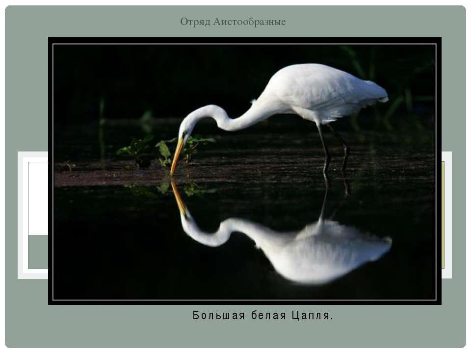 Большая белая Цапля. Отряд Аистообразные