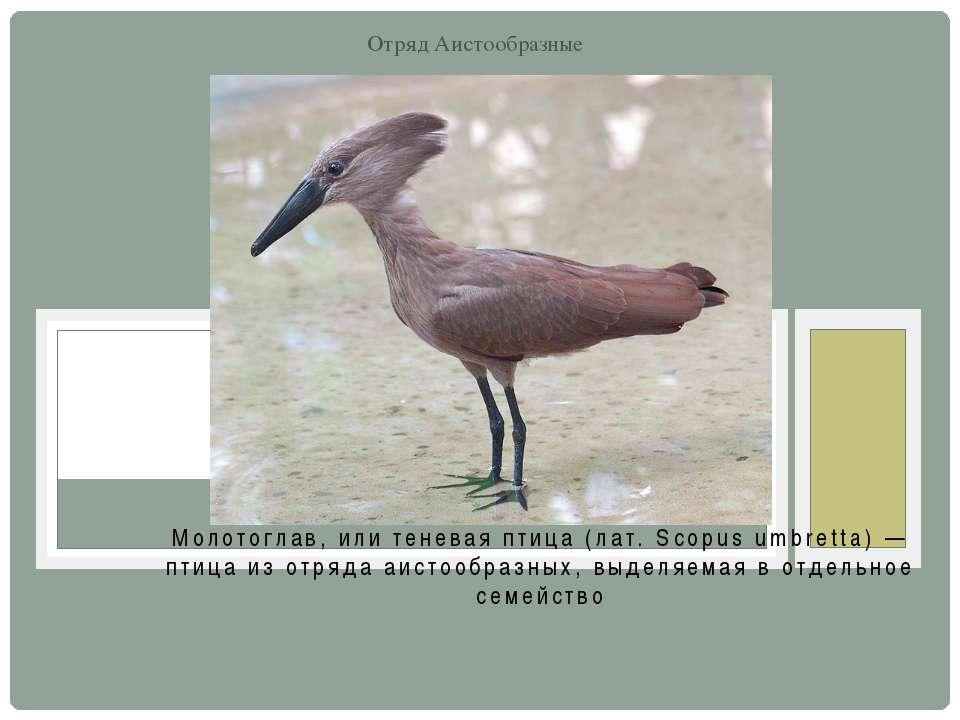 Молотоглав, или теневая птица (лат. Scopus umbretta) — птица из отряда аистоо...