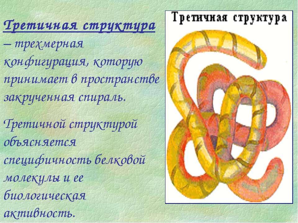 Третичная структура – трехмерная конфигурация, которую принимает в пространст...