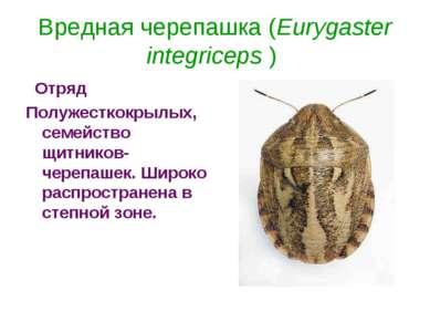 Вредная черепашка (Eurygaster integriceps )  Отряд Полужесткокрылых, семейст...