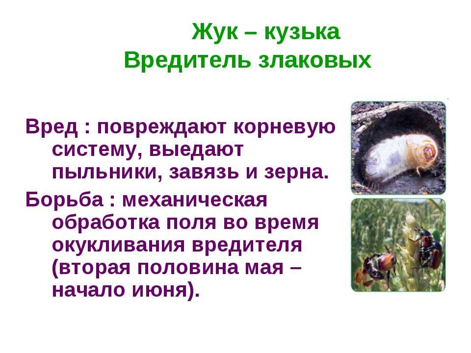 Жук – кузька Вредитель злаковых Вред : повреждают корневую систему, выедают п...