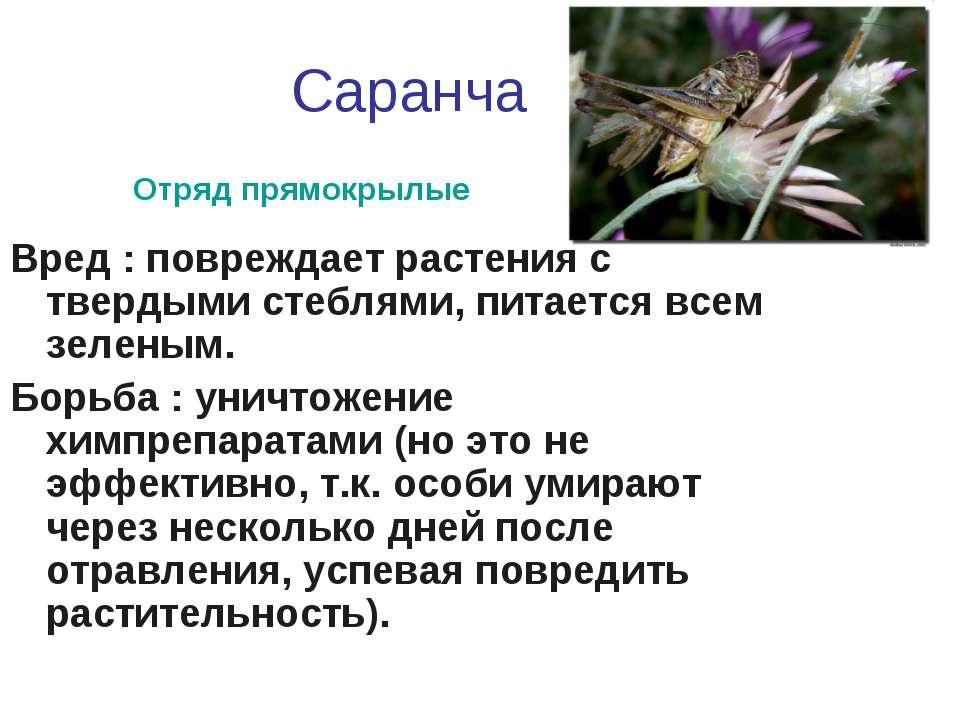 Саранча Вред : повреждает растения с твердыми стеблями, питается всем зеленым...