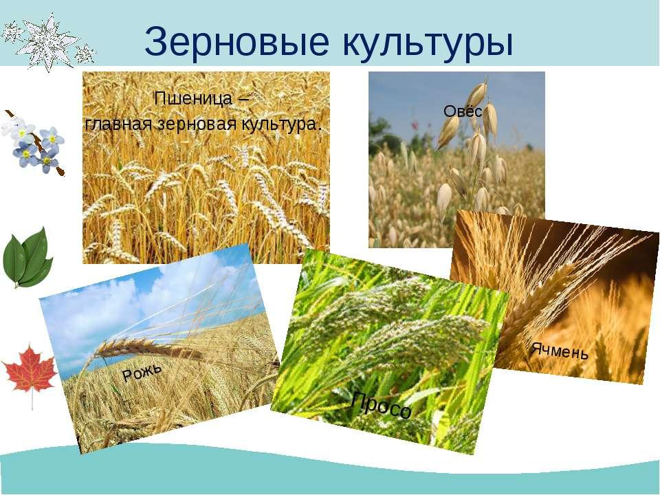 Пшеница – главная зерновая культура. Зерновые культуры Рожь Овёс Ячмень Просо