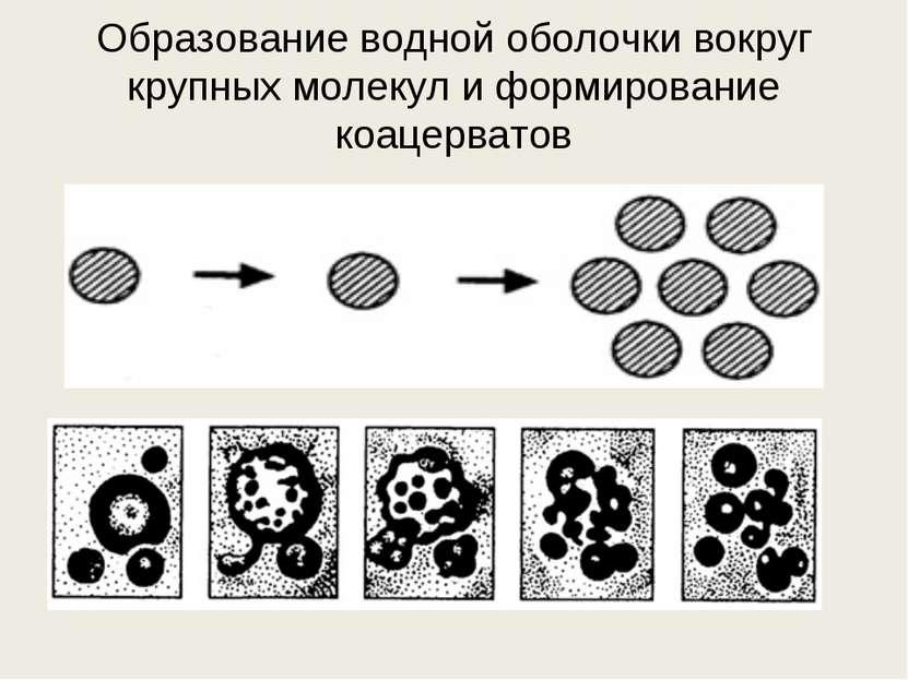 Образование водной оболочки вокруг крупных молекул и формирование коацерватов