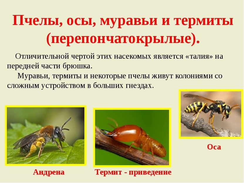 Пчелы, осы, муравьи и термиты (перепончатокрылые). Отличительной чертой этих ...
