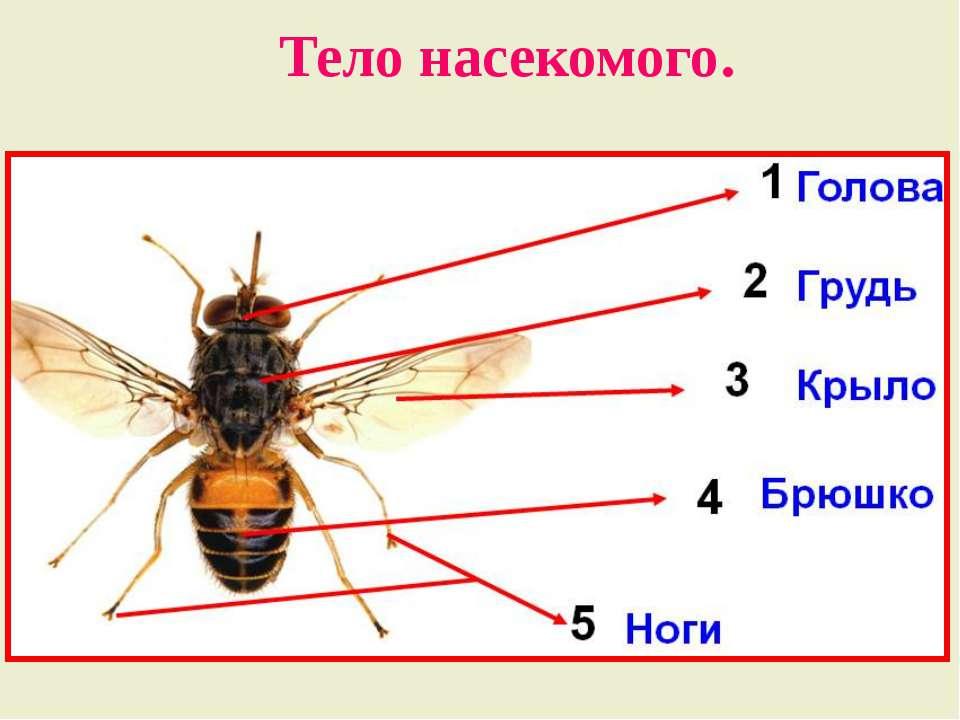 Тело насекомого.