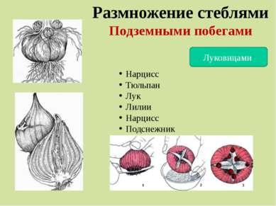 Размножение стеблями Подземными побегами Луковицами Нарцисс Тюльпан Лук Лилии...