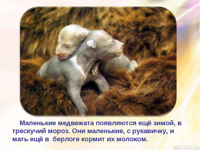 Маленькие медвежата появляются ещё зимой, в трескучий мороз. Они маленькие, с...