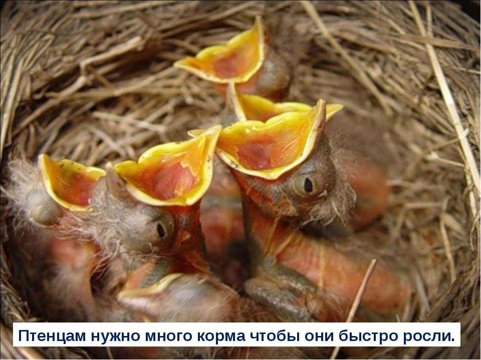 Птенцам нужно много корма чтобы они быстро росли.