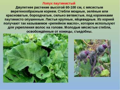 Лопух паутинистый Двулетнее растение высотой 60-100 см, с мясистым веретенооб...