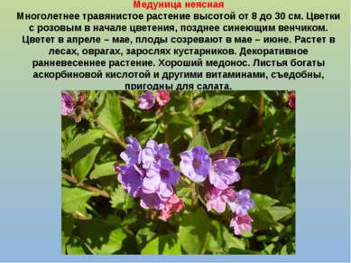 Медуница неясная Многолетнее травянистое растение высотой от 8 до 30 см. Цвет...
