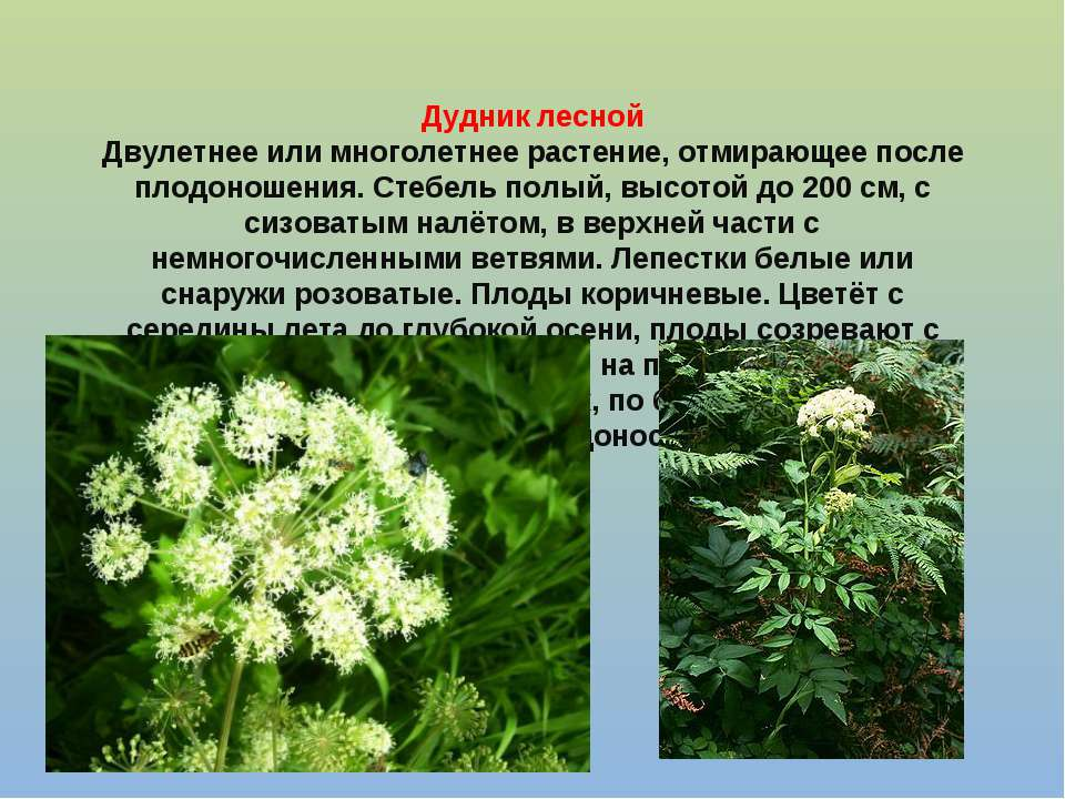 Дудник лесной Двулетнее или многолетнее растение, отмирающее после плодоношен...