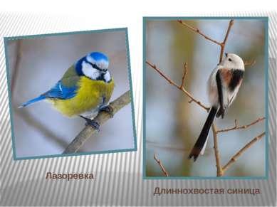 Лазоревка Длиннохвостая синица