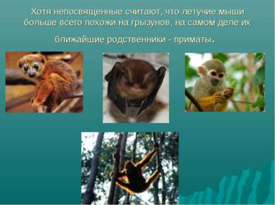 Хотя непосвященные считают, что летучие мыши больше всего похожи на грызунов,...
