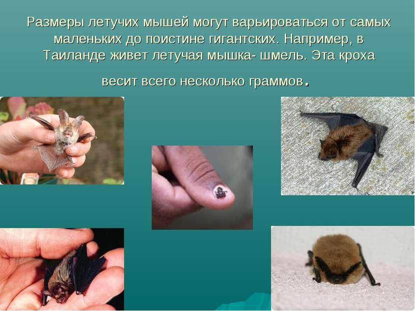 Размеры летучих мышей могут варьироваться от самых маленьких до поистине гига...