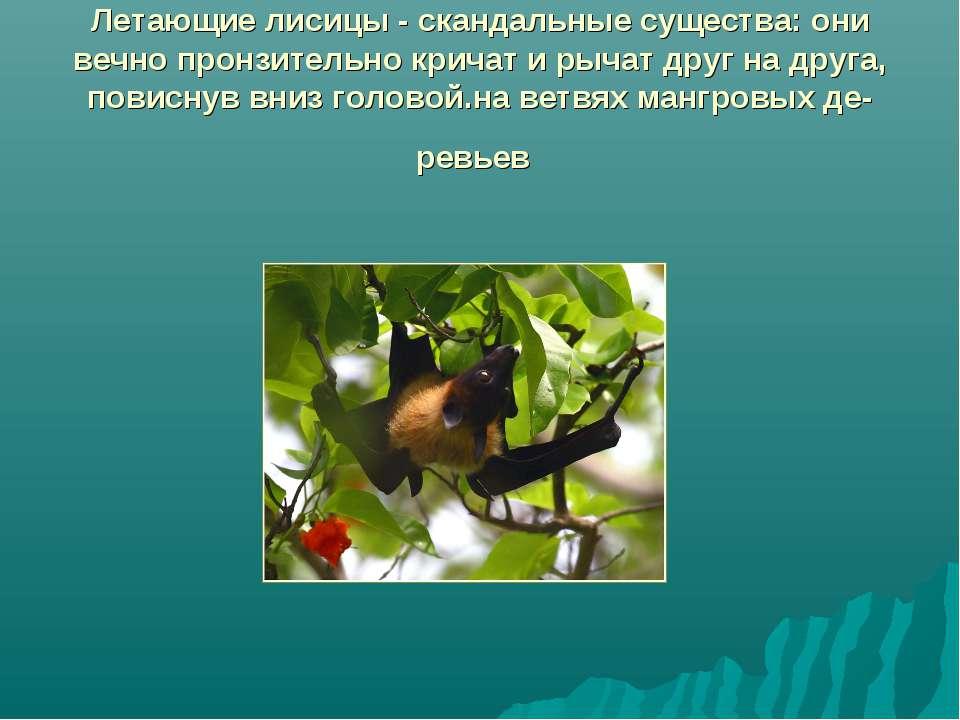 Летающие лисицы - скандальные существа: они вечно пронзительно кричат и рычат...