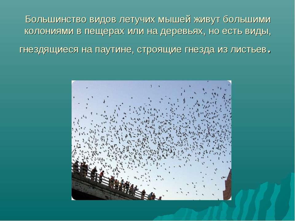 Большинство видов летучих мышей живут большими колониями в пещерах или на дер...