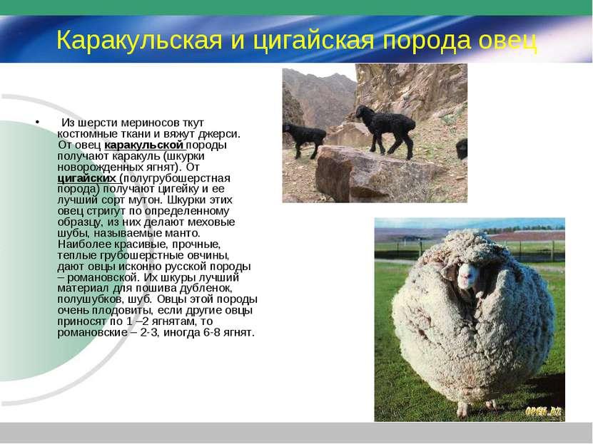Каракульская и цигайская порода овец Из шерсти мериносов ткут костюмные ткани...