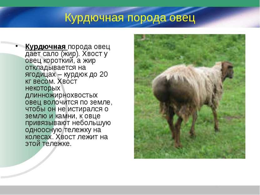 Курдючная порода овец Курдючная порода овец дает сало (жир). Хвост у овец кор...