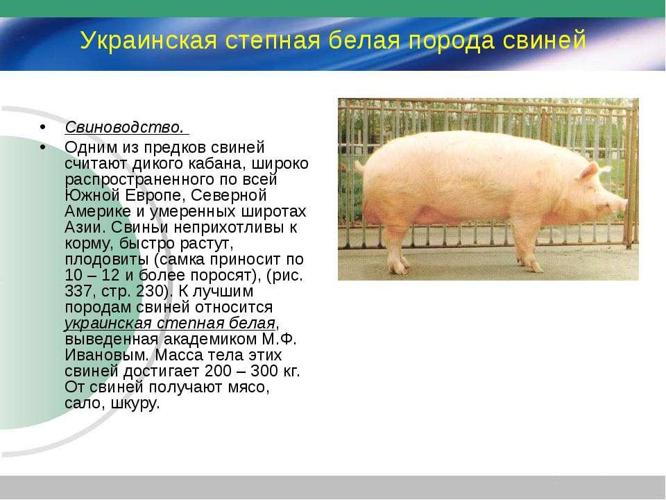 Украинская степная белая порода свиней Свиноводство. Одним из предков свиней ...